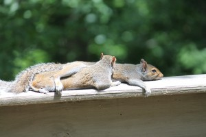 squirrels-834483_1920